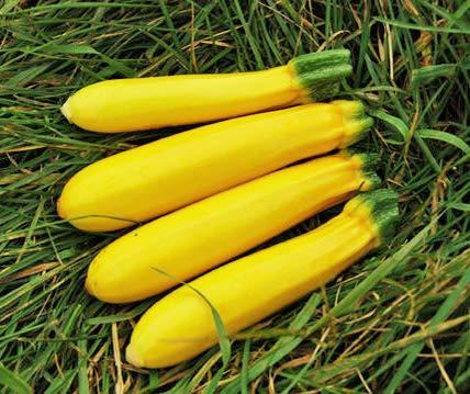 Bobby-Seeds Bio-Zucchinisamen Gold Rush 50 Korn