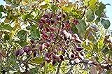 64 Semillas: Pistacia Vera Siirt Turquía pistachos árbol orgánicos Semillas Frescas comestibles