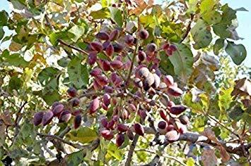 32 Semillas: Pistacia Vera Siirt Turquía pistachos árbol orgánicos Semillas Frescas comestibles