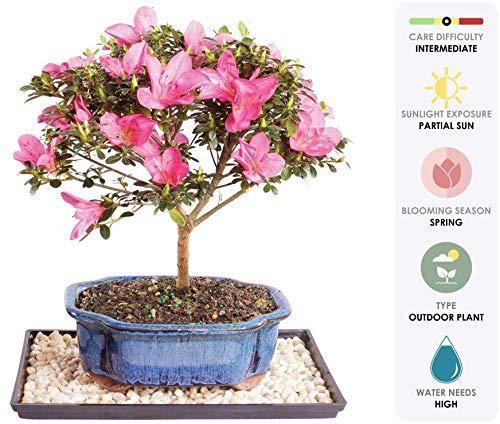 Brussel's Live Satsuki Azalea Outdoor Bonsai Tree - 7 Years Old; 8' to 10' Tall with Decorative Container, Humidity Tray & Deco Rock