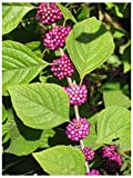 American Beautyberry (Callicarpa Americana), Seed Packet, True Native Seed