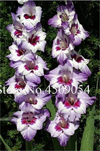 Generic Fresh 200 Pcs Gladiolus Blumensamen zum Pflanzen Mischfarbe