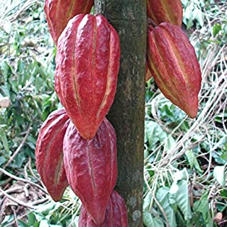 PAPCOOL Chocolate Tree~ Theobroma Cacao Criollo Cocoa 3-4+Ft Potted Plạnt