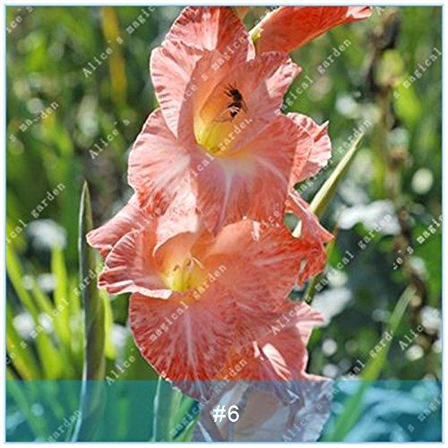 ZLKING 2 ampoules différentes vivaces Gladiolus fleurs d'orchidées Graines Plantes Bonsai Graines Lily Sare Pour jardin Plantation Red Light