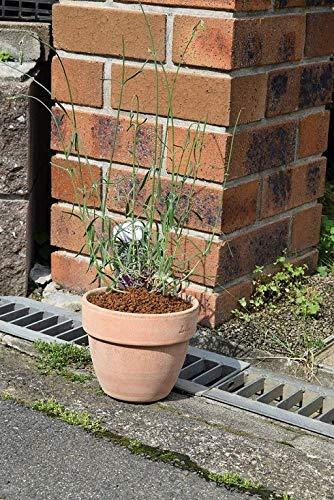 ラベンダー鉢植え ラベンダーグロッソ