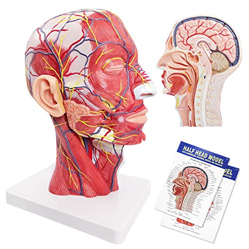 Human Half Head Superficial Neurovascular Model with Musculature, Life Size Anatomical Head Model Skull and Brain for Medical Teaching Learning, Kids Learning Education Display Tool