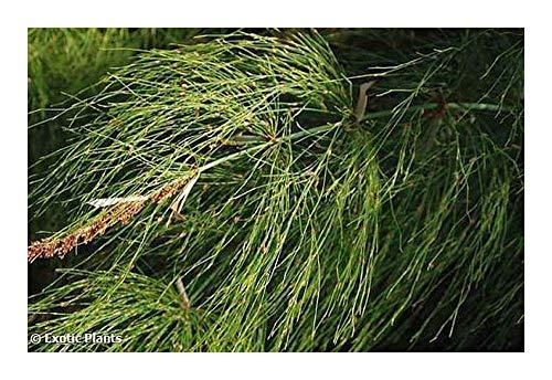Elegia capensis - Elegia - 10 Samen