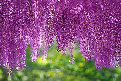 10Pcs Wisteria Garden Tree Seeds Mix Beautiful Flowers On Trees Bonsai Climbing