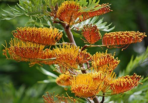 Grevillea robusta Australian Silver Oak Graines d'or Fleurs tropicales à feuilles persistantes (20)