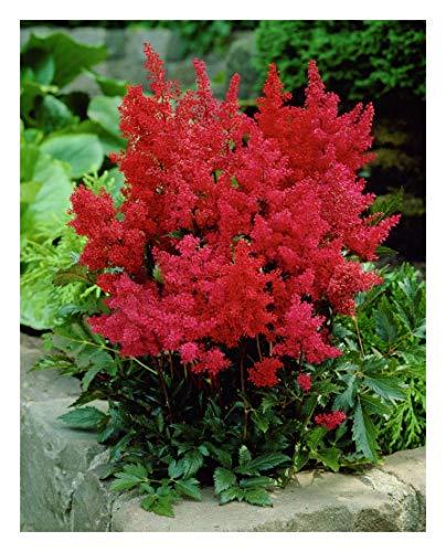1 x Astilbe arendsii 'Astary Red' (Winterhart/Stauden) Prachtspiere