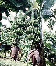 1 Starter Plant of Musa Double Mahoi Banana Tree
