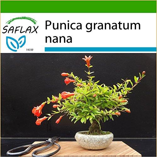 SAFLAX - Granado enano - 50 semillas - Con sustrato estéril para cultivo - Punica granatum nana