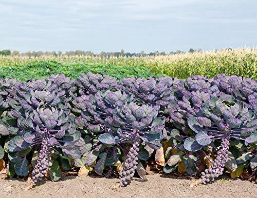 GEOPONICS Rosenkohl Rosella 20 Samen Lila Farbe - Brüssel Sprout Rozella