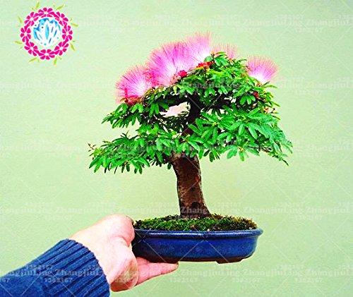 20pcs bonsaï Albizia Graines de fleurs appelées Mimosa Arbre soie, graines pour les plantes en pot de fleurs graines très rares pour le jardin bricolage