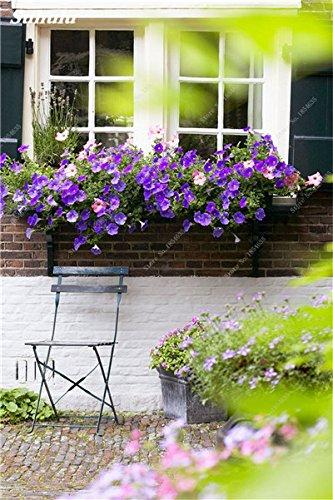 50 Pcs Pétunia Graines de fleurs pétunias Jardin Bonsai Balcon Petunia hybrida Flower Seed Plantes décoratives pour jardin 17