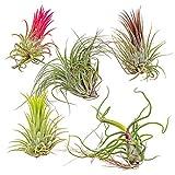 Luftpflanzen | 'Tillandsia' - Set mit 5 Stück