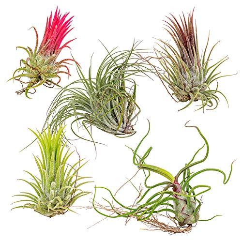 Luftpflanzen   'Tillandsia' - Set mit 5 Stück