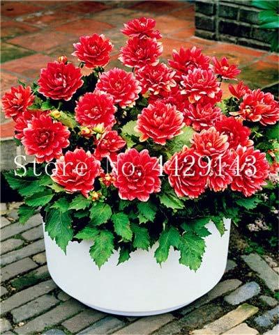 GETSO Heißer Verkauf-100 PC/Bag Dahlia Bonsai Erbstück Topf Dahlie-Blumen, Bonsai-Anlage für Hausgarten-DIY Topfpflanze Freien Verschiffen: 1