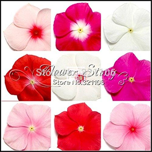Livraison gratuite 20 graines de bigorneau, Mix Couleur Vinca (Catharanthus roseus), une couverture bancaire parfaite derrière votre maison, à feuilles persistantes