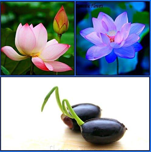 Catterpillar Farm Dwarf Indoor Lotus Seeds Combo Pack: Sacred Pink Evening Purple Lotus 10 Seeds Each