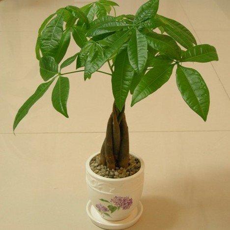 Chinese Semen plantaginis Seeds Phytothérapie Plantain Herb Bonsai Plantago Sementes Garden Outdoor Planters Plantaginis
