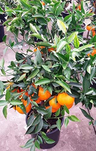 Mandarino Enano PORTES GRATIS