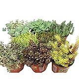 8 verschiedene Winterharte Sedum-Pflanzen - Fetthenne - abwechslungsreiches Farbspiel