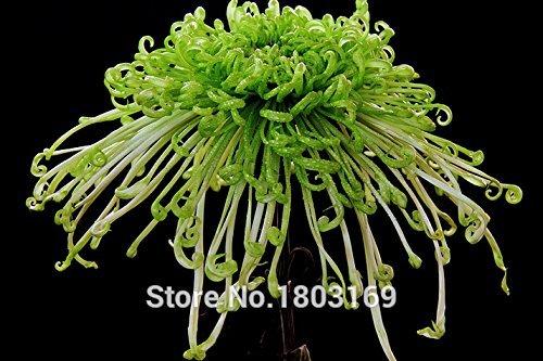 20 Farben Blumensamen, Bellis Perennis Samen, Chrysantheme Samen - 100 Gänseblümchen Blumen Seed Partikel