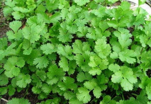 La vente de taux de germination des graines de coriandre de hautes graines de légumes environ 100 graines