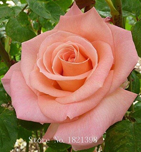 100PCS Fleur Rose Graine Hollande Amoureux des semences cadeau Orange Vert arc-en-RARE Couleur 24 Bricolage choisir le jardinage Fleur 13