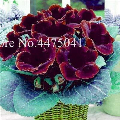 Bloom Green Co. 120 pezzi importati Gloxinia Bonsai, colorato perenne Sinningia Gloxinia nano albero Fiore Le piante per il giardino domestico di balcone coperto: 18