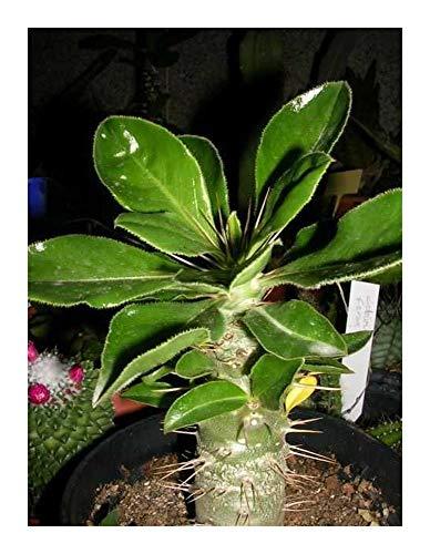 Pachypodium saundersii - Madagaskarpalme - 5 Samen