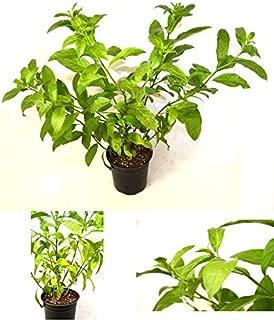 Night Blooming Jasmine Plant 1 Gal Pot - Small Shrub Flowers Garden Outdoor NEW