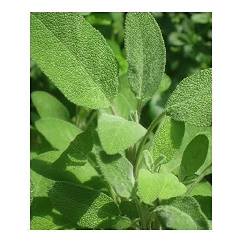 Premier Seeds Direct HRB27 Semi di salvia a base di erbe con foglia larga (confezione da 150)