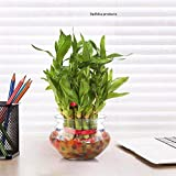 Abana Homes® Lucky Bamboo Plant with Pot - 2 Layer & 21 Stalks