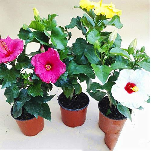 Hibiscus Plantas en macetas con plántulas de hibisco de doble pétalo 300 cápsulas