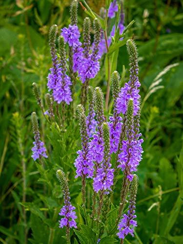 Lanzen-Eisenkraut 50 Samen, Lanzen-Verbene blauviolett (Verbena Hastata Blue)