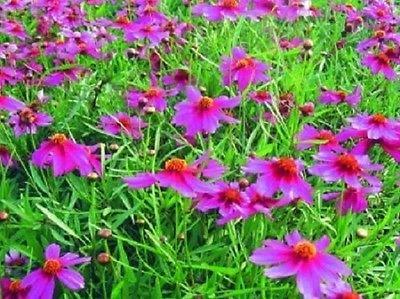 50+ Coreopisis American Dream/annuel Graines de fleurs