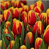5 Pezzi Bulbi Di Tulipano Bulbi Da Fiore Tulipani Esotici Da Giardino Fioriscono Con Fiori Gialli E Rossi Illuminano In Modo Affascinante Il Giardino