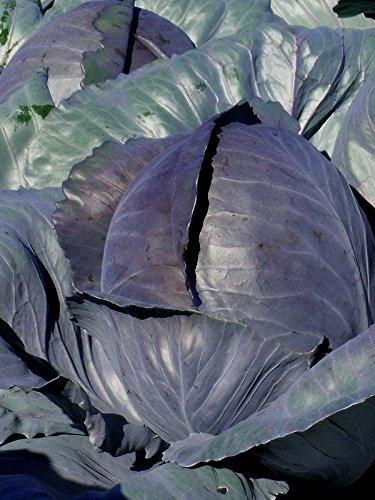Rotkohl 'Schwarzkopf' (Brassica oleracea) 100 Samen 'Cabeza Negra' Blaukohl