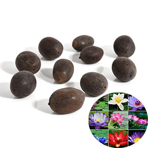 C-LARSS 10 Stück Samen Seerose Blume Pflanze Schüssel Teich Bonsai Samen Hausgarten Hof Dekor Gemischte Farbe