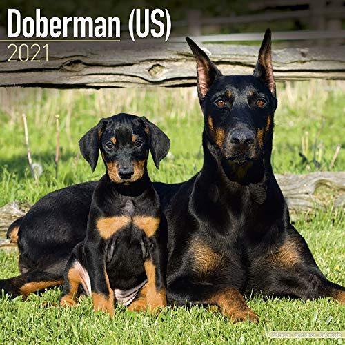 Doberman Calendar 2021 - Dog Breed Calendar - Wall Calendar 2020-2021