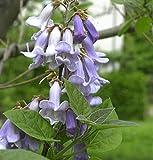 Blauglockenbaum 80-100cm - Paulownia tomentosa