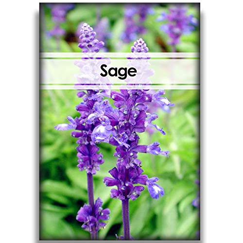 100 Sage Seeds for Indoor and Outdoor Planting All Seeds are Heirloom Easy to Plant and with Planting Instructions