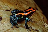 The Poster Corp Mark Moffett – Rio Madeira Poison Frog