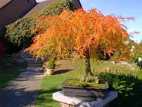 Somarac - Cheap mail order sales Red Max 61% OFF Lace Leaf Japanese palmatum atropurpur Maple Acer