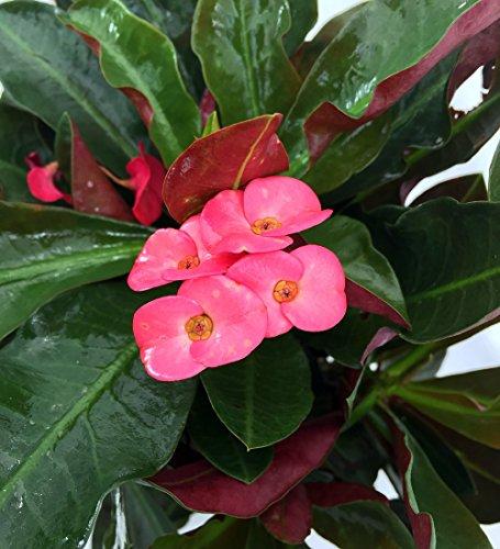 Red Crown of Thorns Plant - Euphorbia splendens