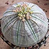 Semillas de frutas de flores 20pcs / bolsa semillas de plantas buena cosecha de rápido crecimiento Angiosperm Euphorbia Obesa Garden Seeds para el jardín - 20pcs semillas crecen su propio jardín