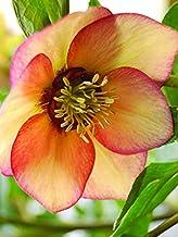 Perennial Farm Marketplace (Helleborus W.J. 'Apricot Blush') Perennial, 1 Quart, Peachy Yellow Flowers with Rose-Pink Veins