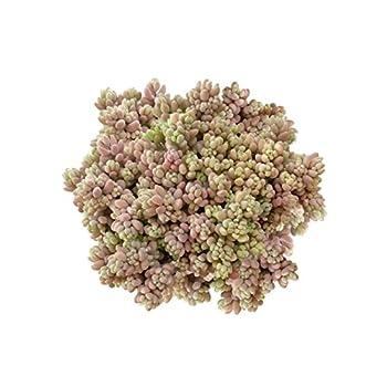 Best sedum dasyphyllum minor Reviews
